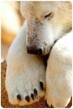 Polar Bear Nap!