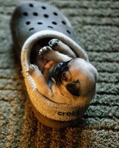 """I'm going to occupy your shoe until you bow down to my cuteness."""