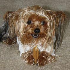 Lucy Yorkshire Terrier   Pawshake Tauranga