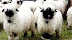 La oveja de nariz negra es unos de los animales raros que residen en suiza.