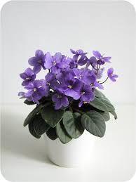 Resultado de imagen para foxwood trail african violet