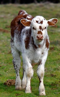 beautiful cow - Google Search