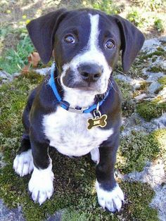 Tux the Mixed Breed -- Puppy Breed: Labrador Retriever / Pointer