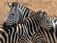 Google-kuvahaun tulos kohteessa http://www.mandalatravel.fi/sites/default/files/imagecache/gallery/afrikka_img_0516.jpg