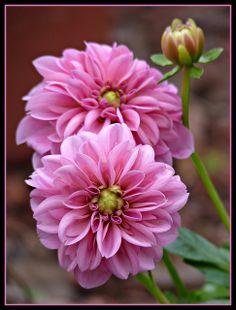 PINK DAHLIA - by Betsy J..., via Flickr