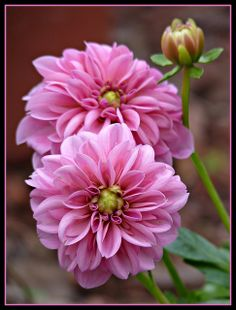 PINK DAHLIA - by Betsy J..., via Flickr
