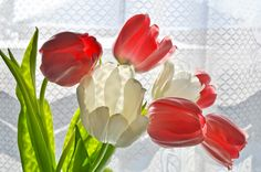 Tulips. Royalty free stock photos. All pictures are free for commercial and personal use. http://www.publicdomainpictures.net