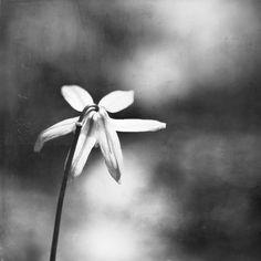 Grey Photography  black and white flower print by CarolynCochrane, $30.00