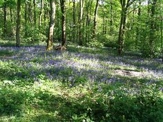 Bluebells in Linacre Woods. Chesterfield Derbyshire