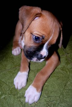 Boxer Dogs - Sweet  If I was to have a dog it would have to be a Boxer.........They sit so proudly it brings tears to my eyes