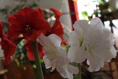 Így lesz csodás virága az amarillisznek | Balkonada Gardening, Plants, Lawn And Garden, Plant, Planets, Horticulture