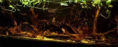 Image associée Biotope Aquarium, Aquarium Fish, World Tanks, Aquarium Design, Black Water, Fish Tank, Natural World, Landscape, Aquascaping