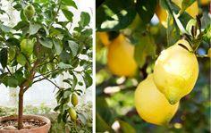 jag drömmer om ett citronträd