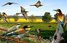 eurpean-bee-eater.jpg.jpg 791×513 pixels