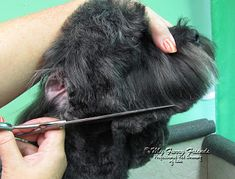 Pet Grooming: The Good, The Bad, & The Furry: Scissoring Heads Goldendoodle Grooming, Dog Grooming Tips, Poodle Grooming, Havanese Puppies, Yorkie, Dog Grooming Styles, Dog Grooming Salons, Grooming Shop, Miniature Schnauzer Puppies