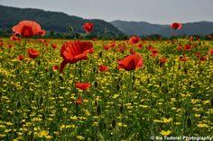 "Fotografia lunii mai 2015 : ""Camp cu maci in lunca Somesului"" True Beauty, Tudor, Photo Blog, Vineyard, Camping, Plants, Beautiful, Fotografia, Real Beauty"