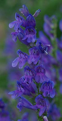 Rocky Mountain Penstemon (Penstemon strictus) - native to utah and EASY to grow.. huge plus for me