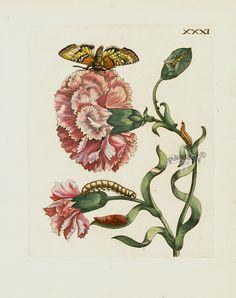 Maria Sibilla Merian Der Rupsen Begin Prints 1713, Cariophylis variegatus