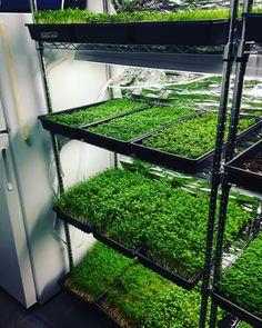 Rack full of greens ready to go #microgreens #nutrientdense #foodie #seattle #fremont #growsomethinggreen # by gnomesgardengourmetgoods