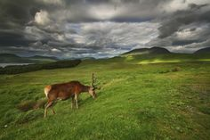 Scottish red deer Scotland is home to indigenous populations of this large deer species, which served as prime hunting prey among the Picts during the medieval period.