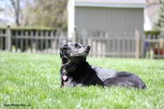 oakley is a black lab mix that loves to bathe in the sun