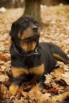 rottweiler...awesome photo!