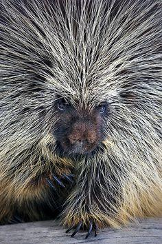 Porcupine by Paul Keates