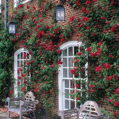 Étoile de Hollande - Fragrant Climbing Rose would look fantastic growing around our patio door.