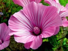 Rose mallow low res