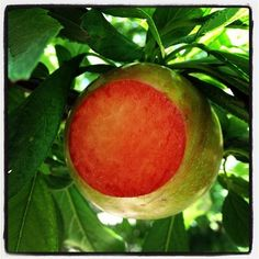 Honey Red Dino pluot