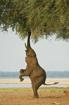 Great wildlife images Bipedal Elephant 2 by Ken Watkins Another balancing act from Ghikwenya concession, Zimbabwe Nature Animals, Animals And Pets, Funny Animals, Cute Animals, Wild Animals, Baby Animals, Photo Elephant, Elephant Love, Elephant Eating