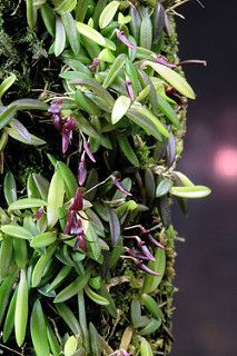 Bulbophyllum macphersonii