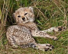 Cute Baby Cats, Cute Little Animals, Cute Babies, Baby Cheetahs, Cheetah Cubs, Chester Zoo, Leopards, Big Cats, Animals Beautiful