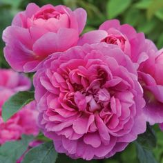 Princess Anne - David Austin Roses