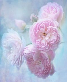 """full bloom"" by Teresa Pople | Redbubble"