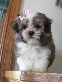 2014....gonna be on the lookout for a puppy that will max out at 5-10lbs. looking towards spring time.....FYI****