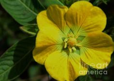 A beautiful yellow wildflower seen along a bike trail in Venice, Florida. The watermark will not appear on your print.