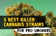 Whether you consider yourself an experienced cannabis smoker or you're simply on a mission to try every strain, here are 5 killer cannabis strains that are NOT for the faint-hearted! Weed Strains, Weed Humor, Buy Cannabis Online, Thing 1, Cannabis Growing, Herbs Indoors, Medical Cannabis, Growing Herbs, Smoking Weed