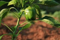 Growing Bell Peppers in Containers