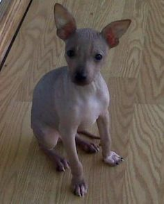 About Dog American Hairless Terrier: Is Your American Hairless ...