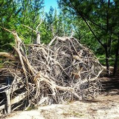 #uprooted #casuarina #australianpine #treeroot #onthebeach #downbythesea #naturallandscape #eleuthera #islandlife