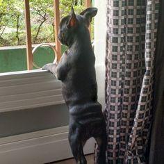 Espiando o mundo lá fora ... #frenchbulldog #frenchiebulldog #buldoguefrances #marcopolo