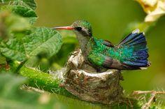 Glittering-bellied Emerald (Chlorostilbon aureoventris) | Goudbuiksmaragdkolibrie - Glittering-bellied Emerald