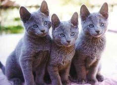 Russian blue kittens                                                                                                                                                                                 More