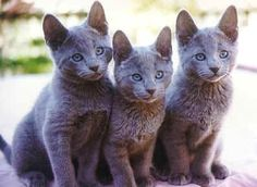 Russian blue kittens                                                                                                                                                                                 More