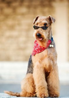 Irish Terrier, Airedale Terrier, Doge Dog, Lakeland Terrier, Wire Haired Dachshund, Wire Fox Terrier, Different Dogs, Large Dog Breeds, Dogs Of The World