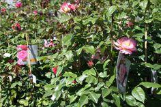 Klimrozen voor je tuin of terras mooier te maken