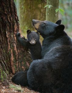 Black bear cub pausing at the base of a tree as its mother looks up at one of her other cubs. The other cub was climbing down and this one was thinking about climbing up.