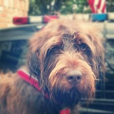 Wire haired pointing griffon. Griffon pointer. Whatever you call them. I just call him mine. :)