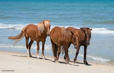 The iconic Corolla wild Spanish mustangs enjoy a beautiful day at the beach.  Photo by Eve Turek.